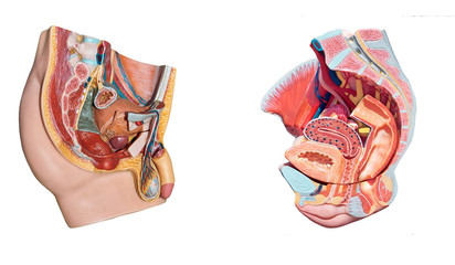Male, female pelvis anatomy.  Reproduction system