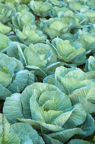 Cabbage farming at organic food farm