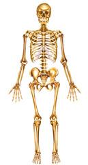 Esqueleto humano frontal