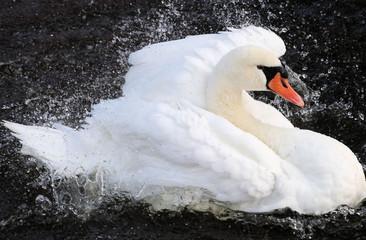 Beautiful Swan Dancing In Water