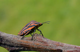 Red - black bug sits on a branch.