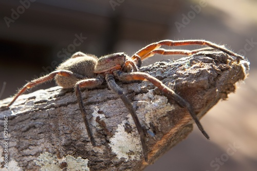 a tarantula (theraphosidae) sitting on a piece of wood