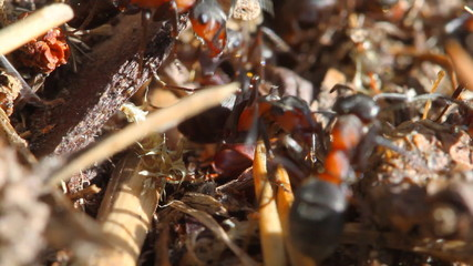 Ants building anthill, macro