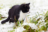 black-and-white tomcat focusing on a mouse in snow covered grass poster