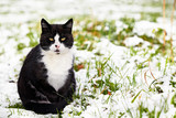 black-and-white tomcat sitting in snow covered grass poster