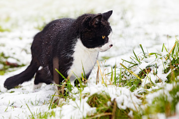 black-and-white tomcat focusing on a mouse in snow covered grass