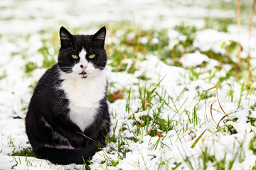 black-and-white tomcat sitting in snow covered grass
