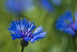 Fototapete Blume - Blüten - Pflanze