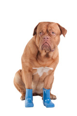 Sitting dog with blue boots