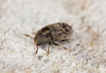 Wood living beetle