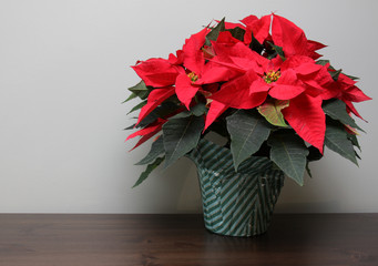 Poinsettia on a Table