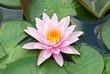Close-up of pink lotus in garden
