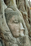Head of buddha in root