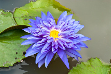 Close-up of blue lotus in garden