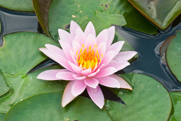 Close-up of pink lotus in garden