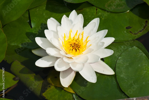 Close-up of white lotus in garden