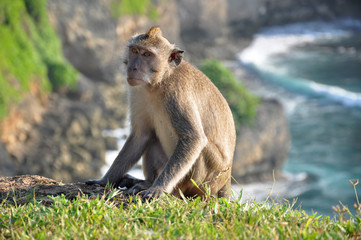 The monkey on a background of rocks