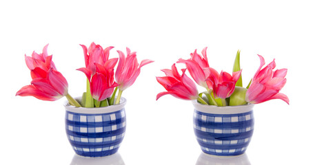 two blue white checkered flowerpots with pink red tulips isolate