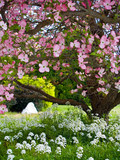 Pink blooms adorn a Dogwood tree in spring poster