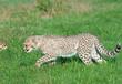 Cheetah (A. Jubatus) cub prowls