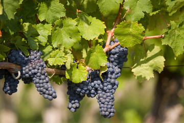 Grapes Ripe for the Harvest
