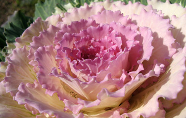 Cabbage garden curly, decorative (Vrassica oleracea)