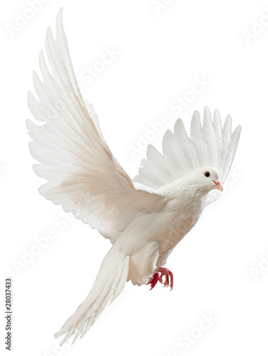 Fotobehang Vogel A free flying white dove isolated