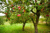 Fototapety Apple trees with red apples