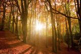 Fototapety Sun shining through an autumn forest.