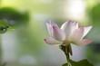 Lotus in habitat - portrait