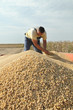 Soy bean harvesting, farmer at trailer with soybean