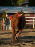 Young Running Steer Roped