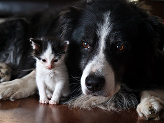 A dog protecting a kitten