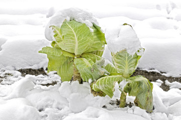 Cabbage in a snowy vegetable garden bed