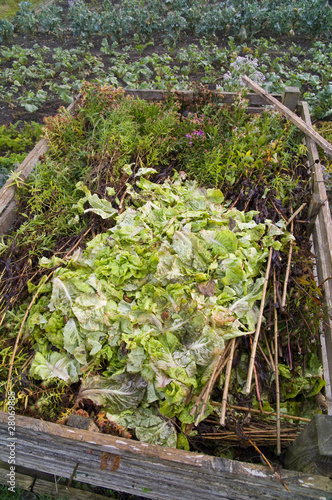 Lettuce leaves on a compost heap