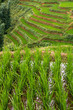 Flooded Rice Paddy Terraces