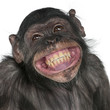 Leinwandbild Motiv Close-up of Mixed-Breed monkey between Chimpanzee and Bonobo