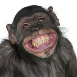 Fototapety Close-up of Mixed-Breed monkey between Chimpanzee and Bonobo