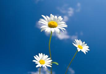 three chamomiles on blue sky