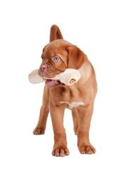 Puppy eating a bone