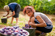 Young lady picking plums
