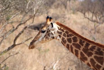 jirafa de perfil