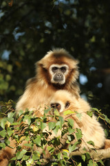 Gibbon with baby in a tree