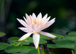 Pink water lily in habitat