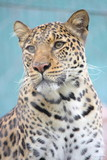 Leopard Gazing poster