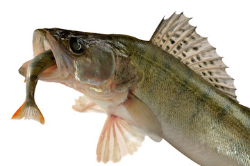 Pike perch