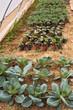 vegetables cultivation