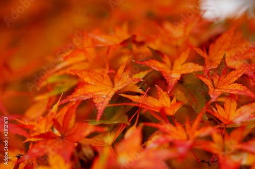 红叶(小石川植物园)