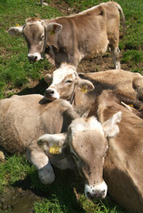 ammucchiata di vitelli al pascolo