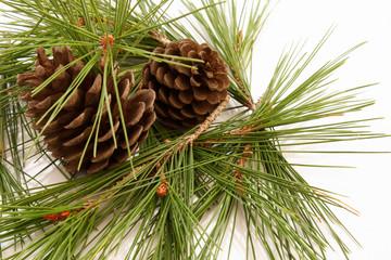 Pigne e rami di pino#4